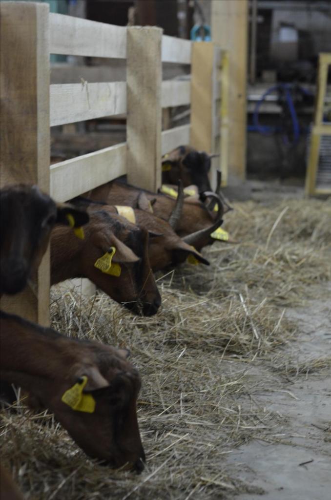 L'hiver en chèvrerie